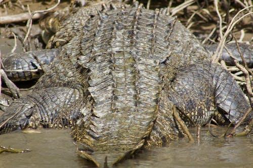 Gratis arkivbilde med australia, elv, elvebredd, vill krokodille