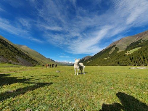 Fotobanka sbezplatnými fotkami na tému biely pes, hory, krajina, pes