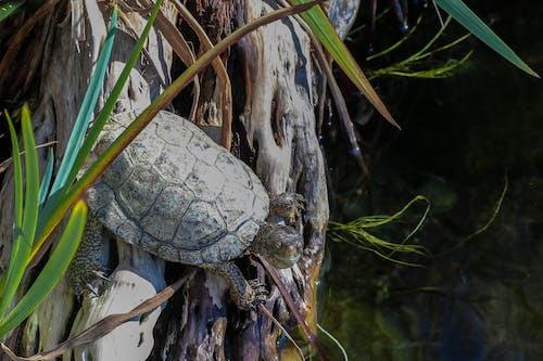 Fotobanka sbezplatnými fotkami na tému korytnačka