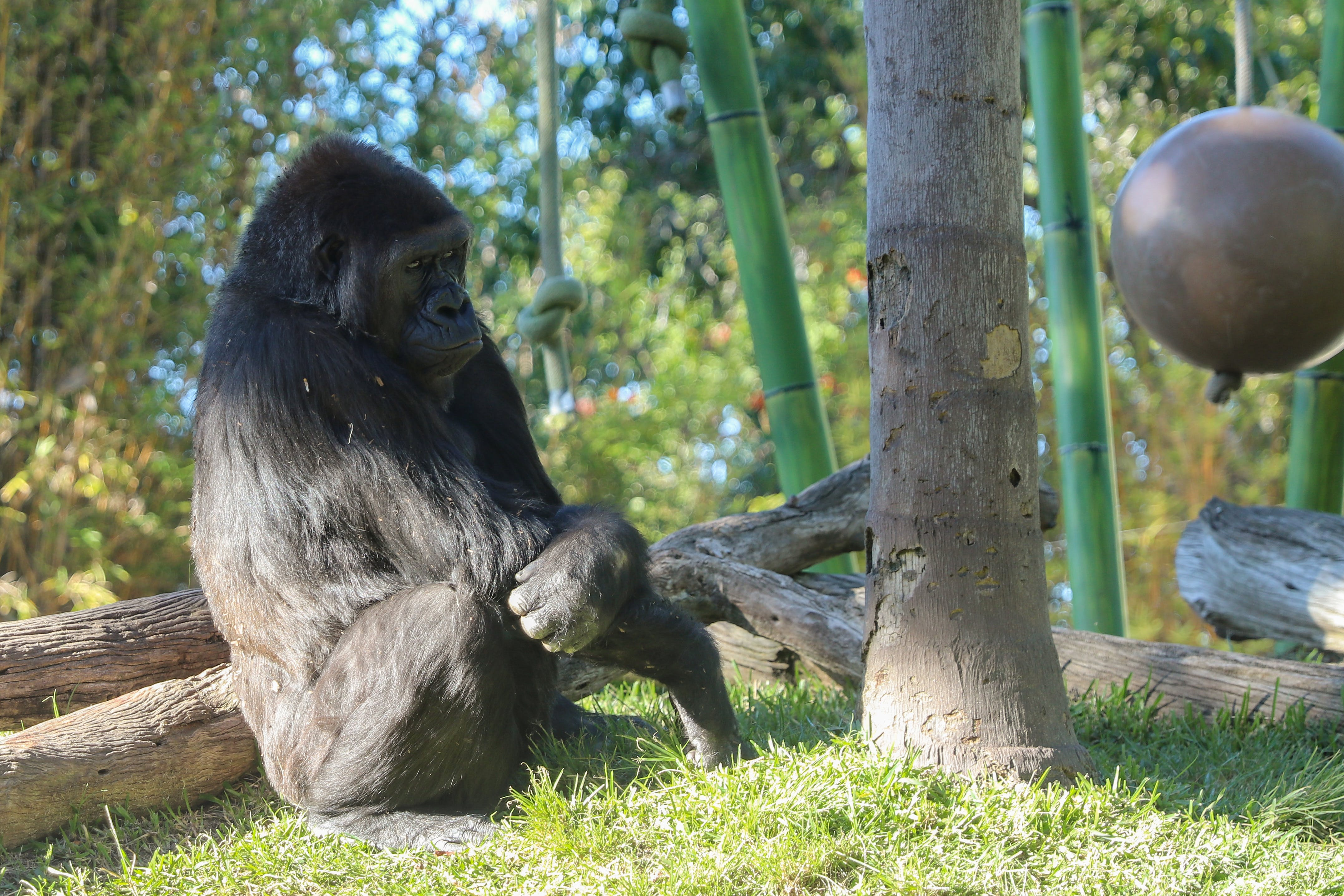 Free stock photo of animals, gorilla
