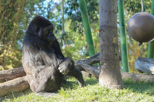Kostenloses Stock Foto zu gorilla, tiere