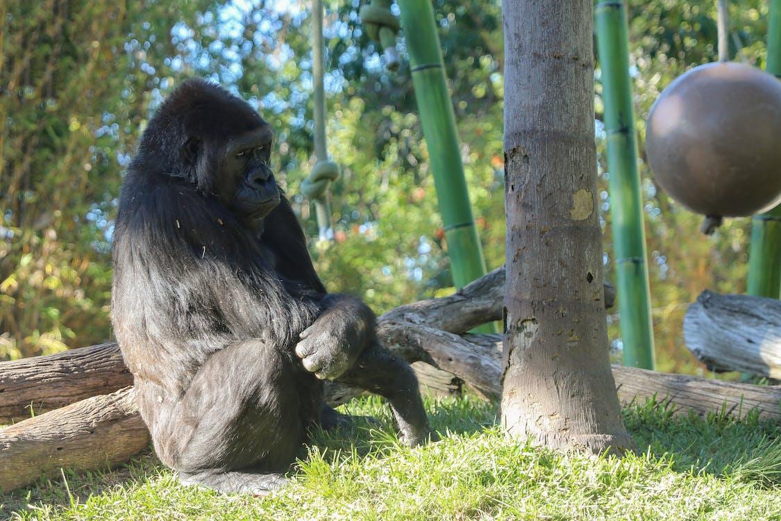 gorilla, tiere