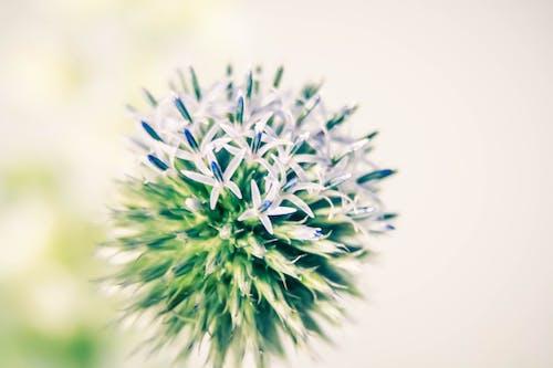 Ảnh lưu trữ miễn phí về cây kế, hoa kế, Hoa màu xanh