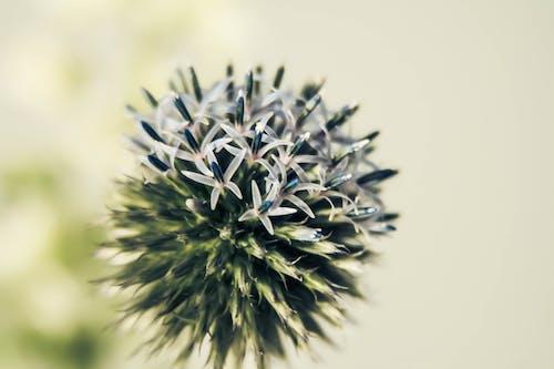 Ảnh lưu trữ miễn phí về cây kế, hoa kế, Hoa màu xanh, màu xanh da trời