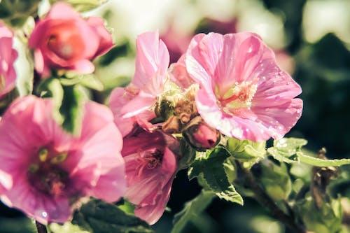 Ảnh lưu trữ miễn phí về hoa mùa hè, mùa xuân, những bông hoa màu hồng
