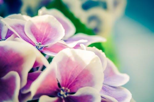 Ảnh lưu trữ miễn phí về cây tú cầu, hoa mùa hè, mùa xuân, những bông hoa màu hồng