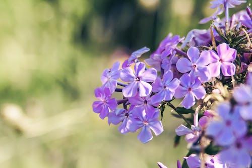 Ảnh lưu trữ miễn phí về hoa, hoa mùa xuân, màu tím