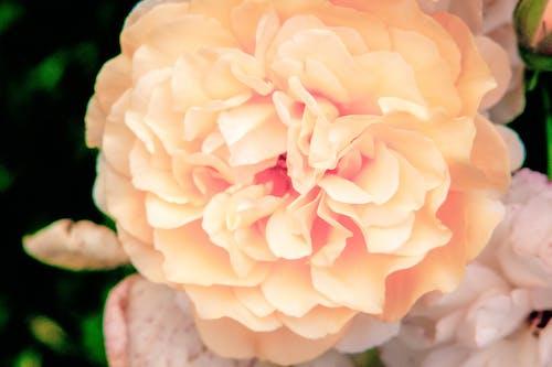 Ảnh lưu trữ miễn phí về hoa hồng, hoa hồng nở
