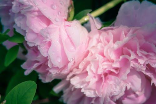 Ảnh lưu trữ miễn phí về hoa, hoa đang nở, hoa mùa hè, Hồng
