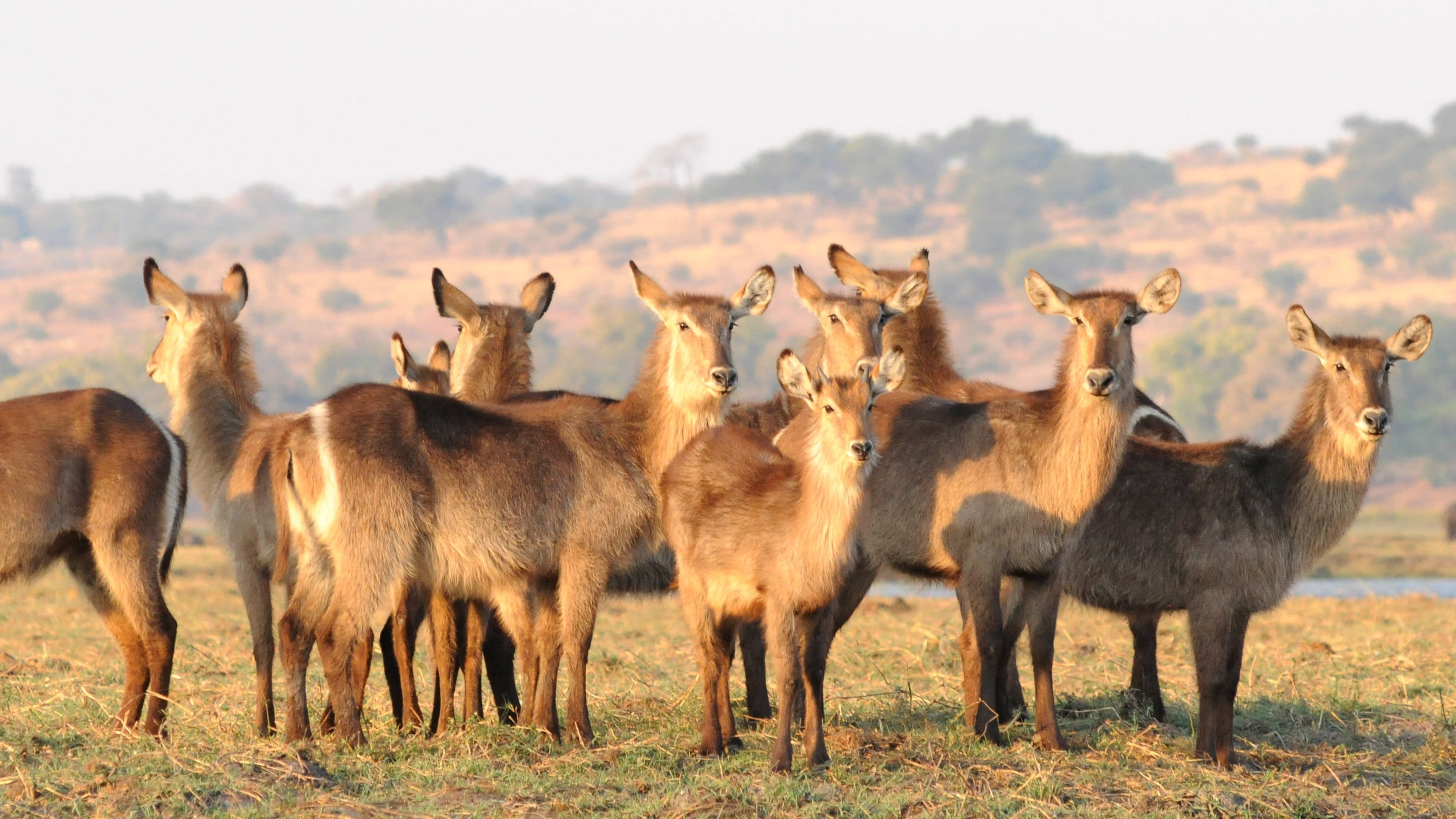Free stock photo of africa, group, flock, antelope