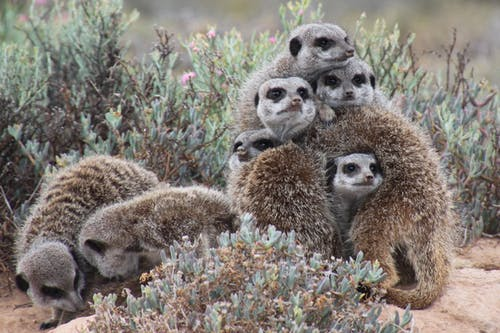 Gray Meerkat Facing Cameras
