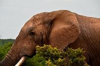 africa, safari, elephant