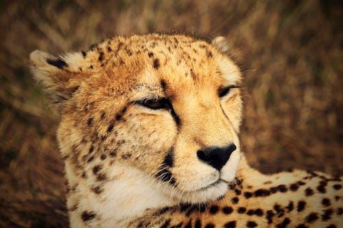動物, 大草原, 捕食者, 特寫 的 免费素材照片