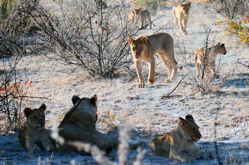 Foto d'estoc gratuïta de animals, arbres, caçador, carnívor