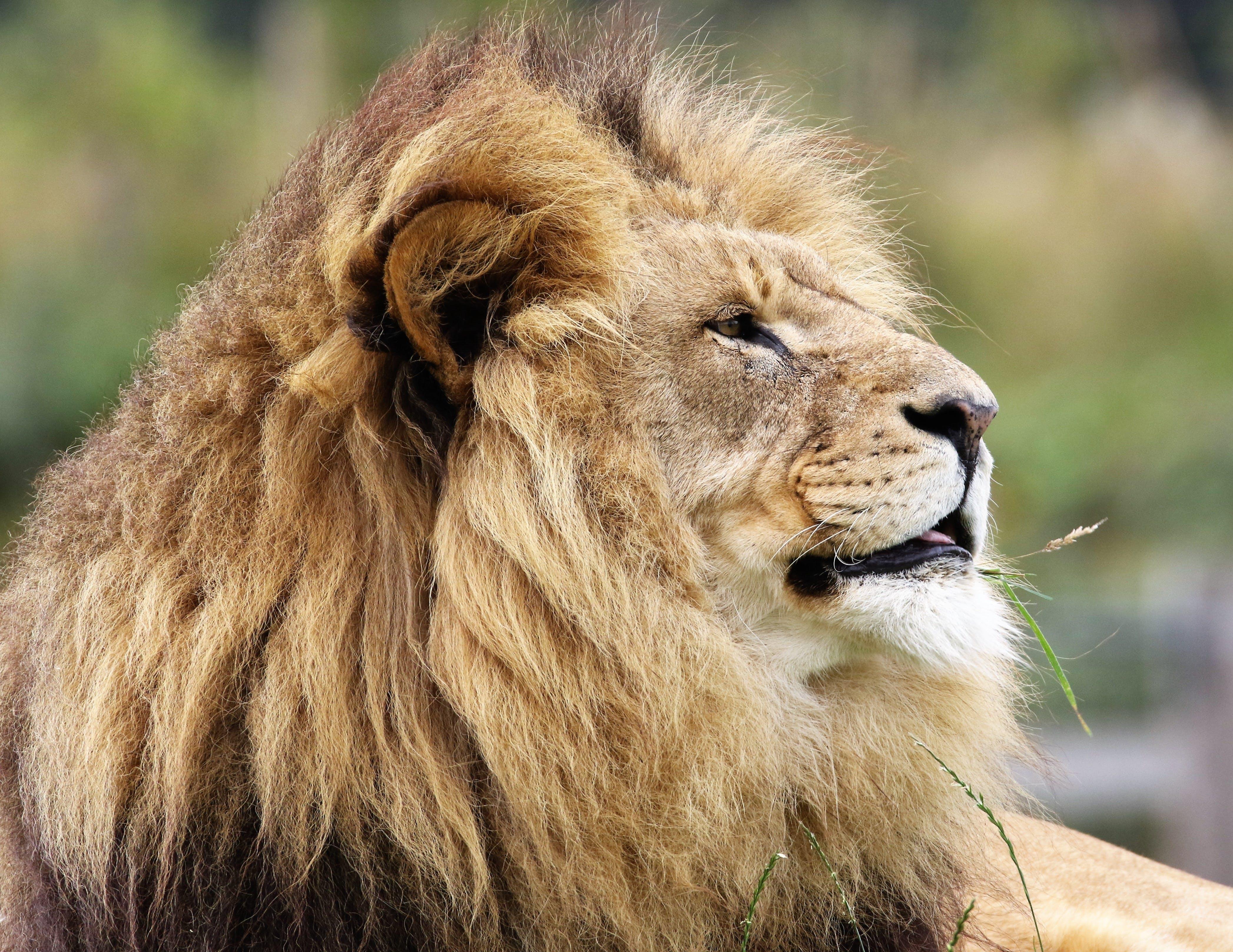 Free stock photo of africa, animal, big, big cat