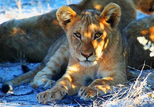 Free stock photo of africa, lion, safari, etosha