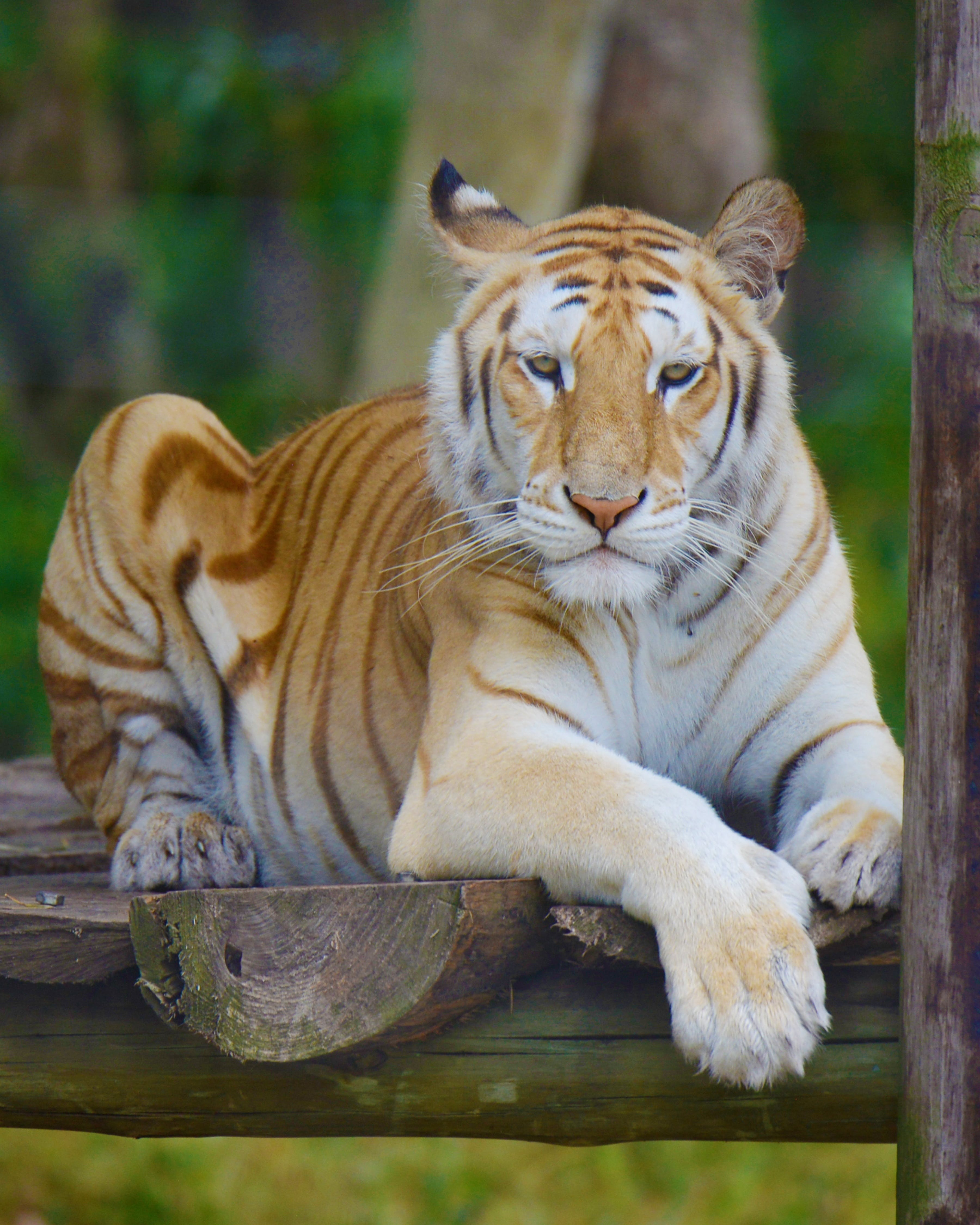 Free stock photo of tiger, south africa, seaview lion park