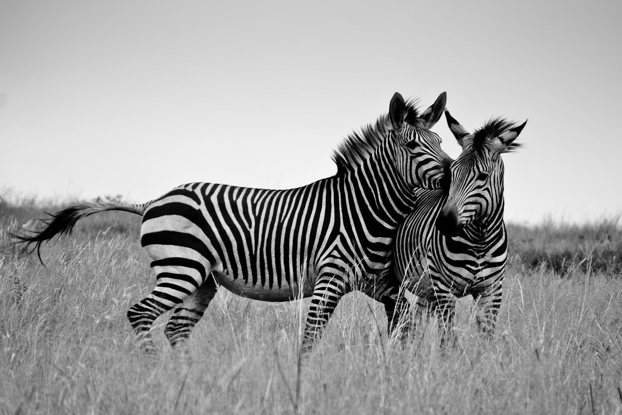 Free stock photo of animal, africa, zebra, safari