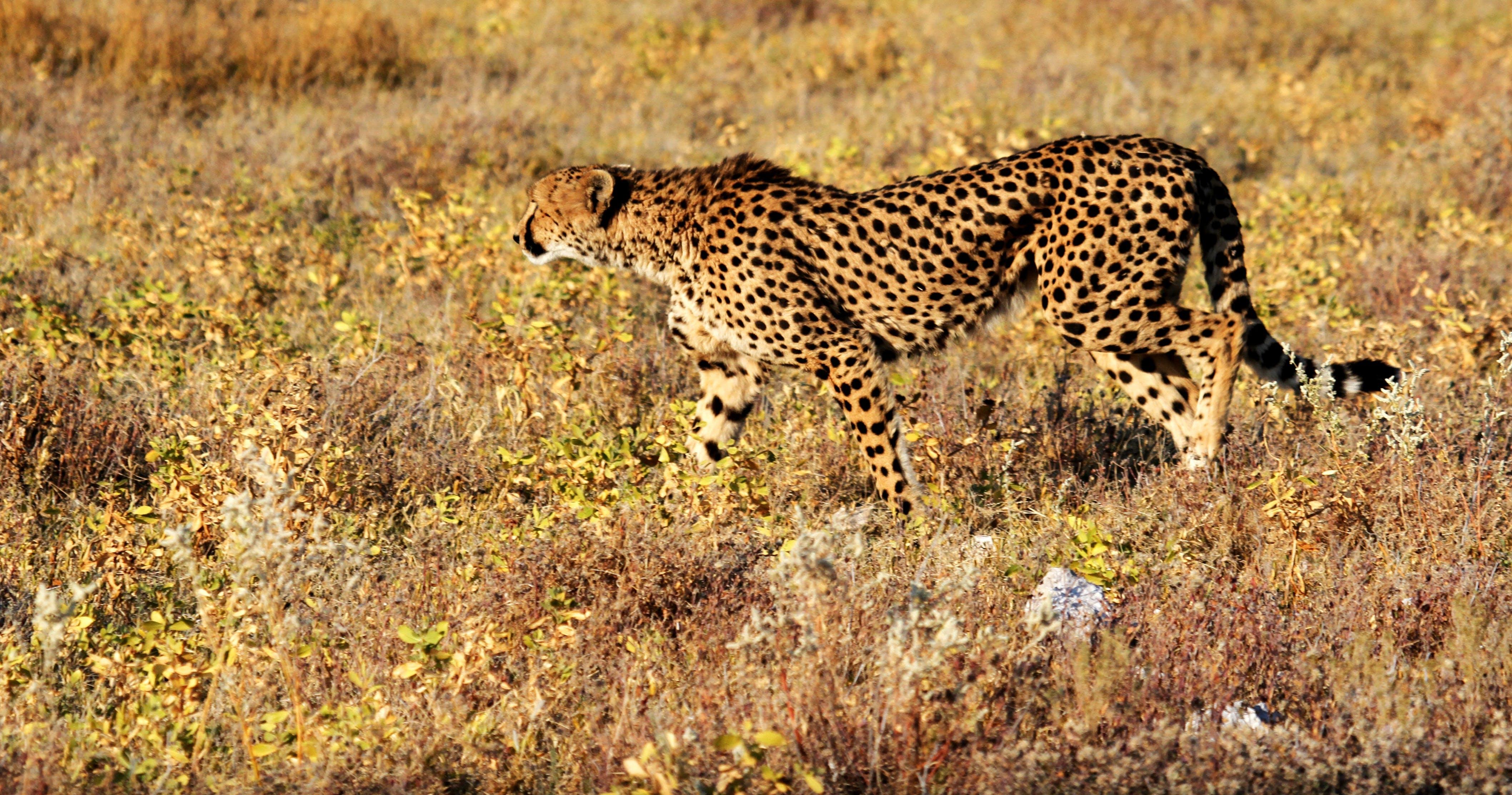 Cheetah Walking on Grass