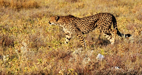 Cheetah Walking on Grass