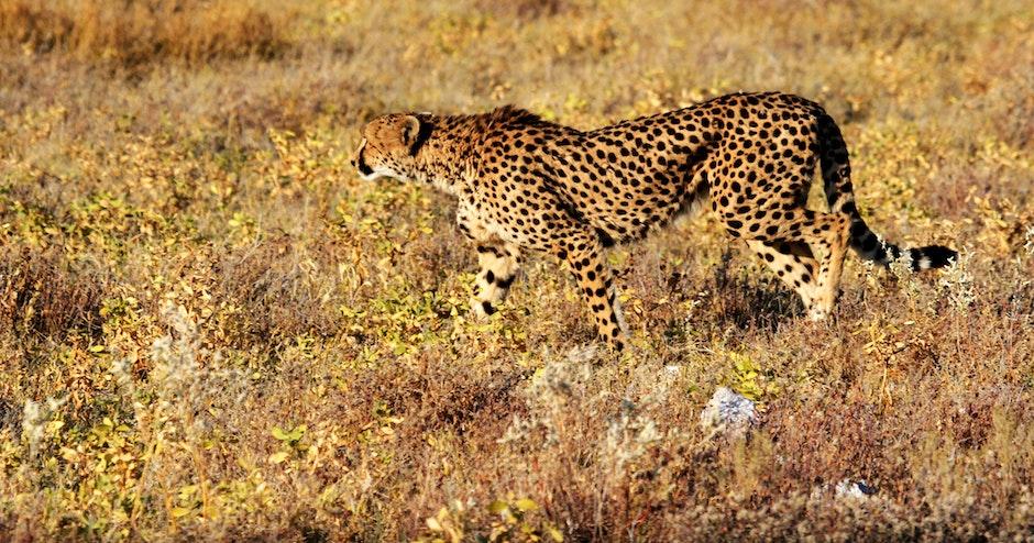 animal, animal photography, big cat