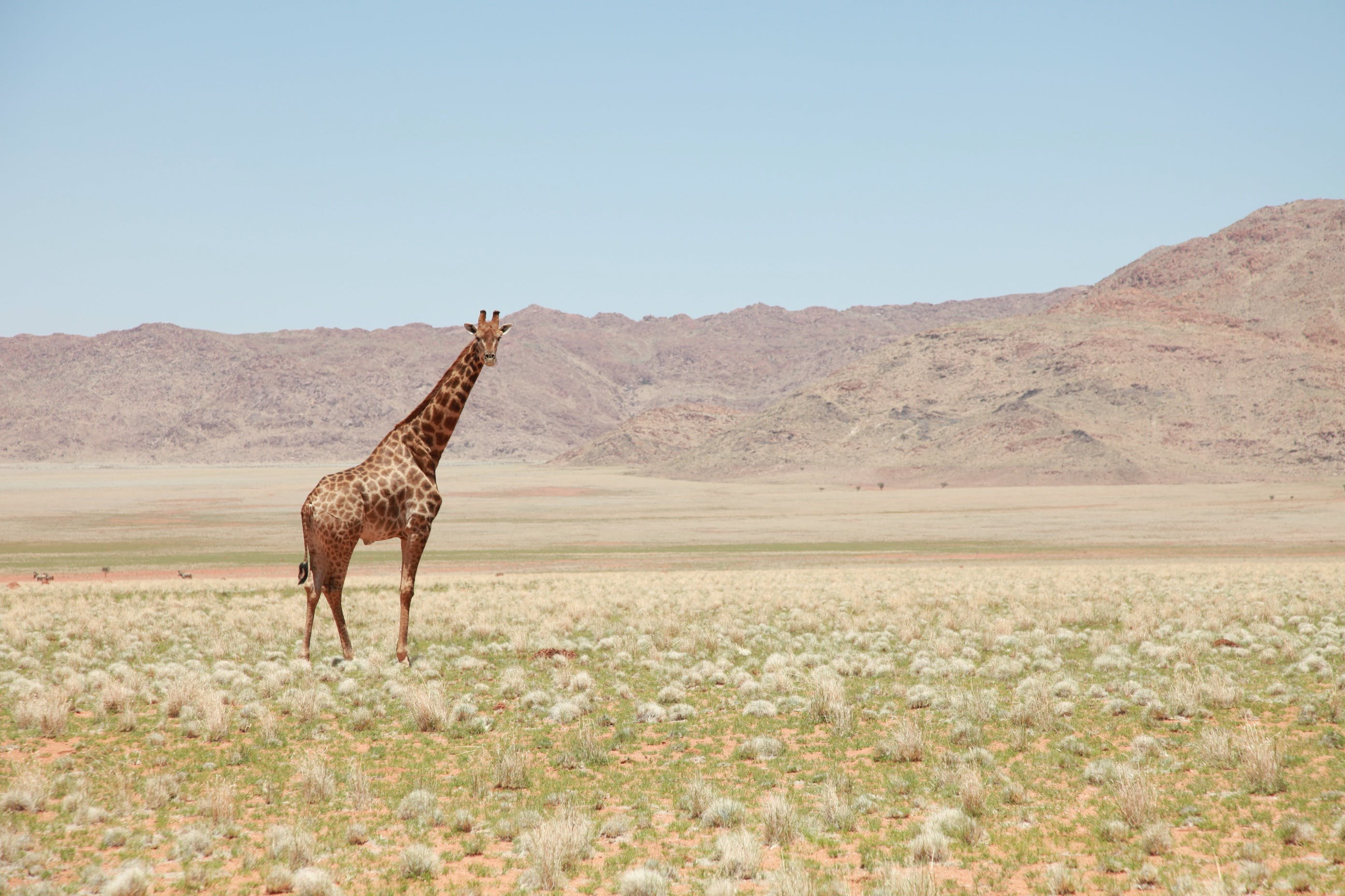 Giraffe in the Middle of the Field