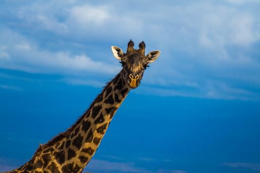 Free stock photo of africa, animals, wilderness, giraffe