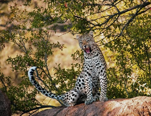 Leopard on Siting Tree Branch