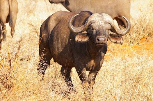 Free stock photo of africa, safari, buffalo, national park