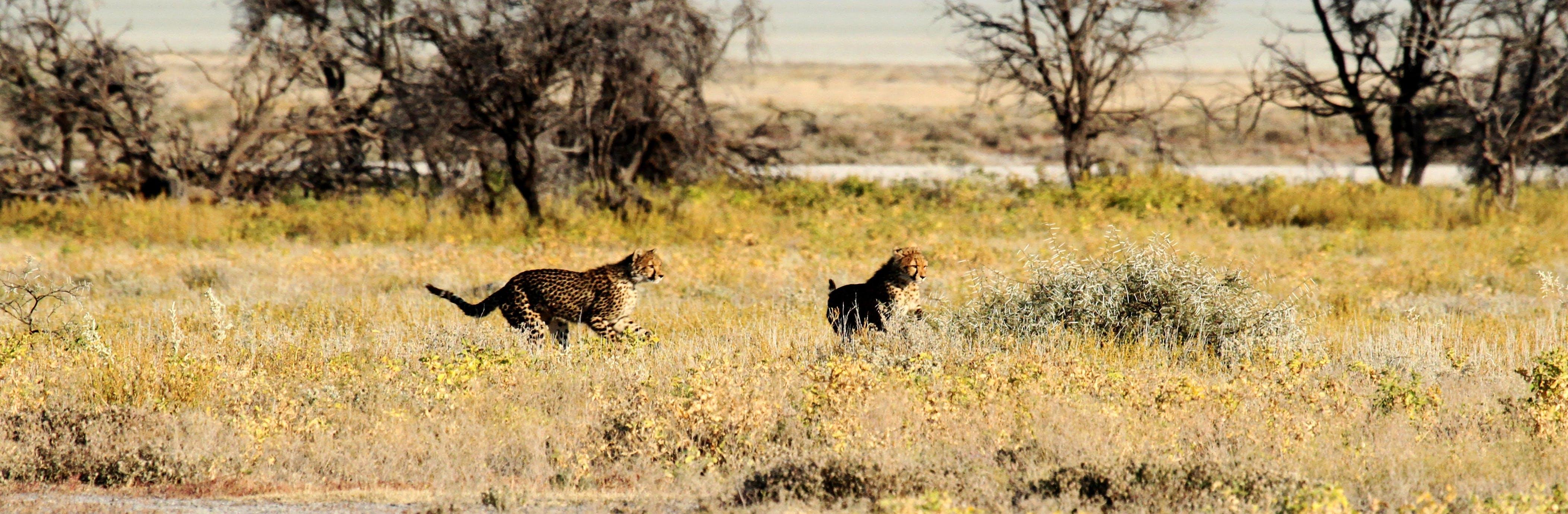 Free stock photo of africa, safari, cheetah, etosha
