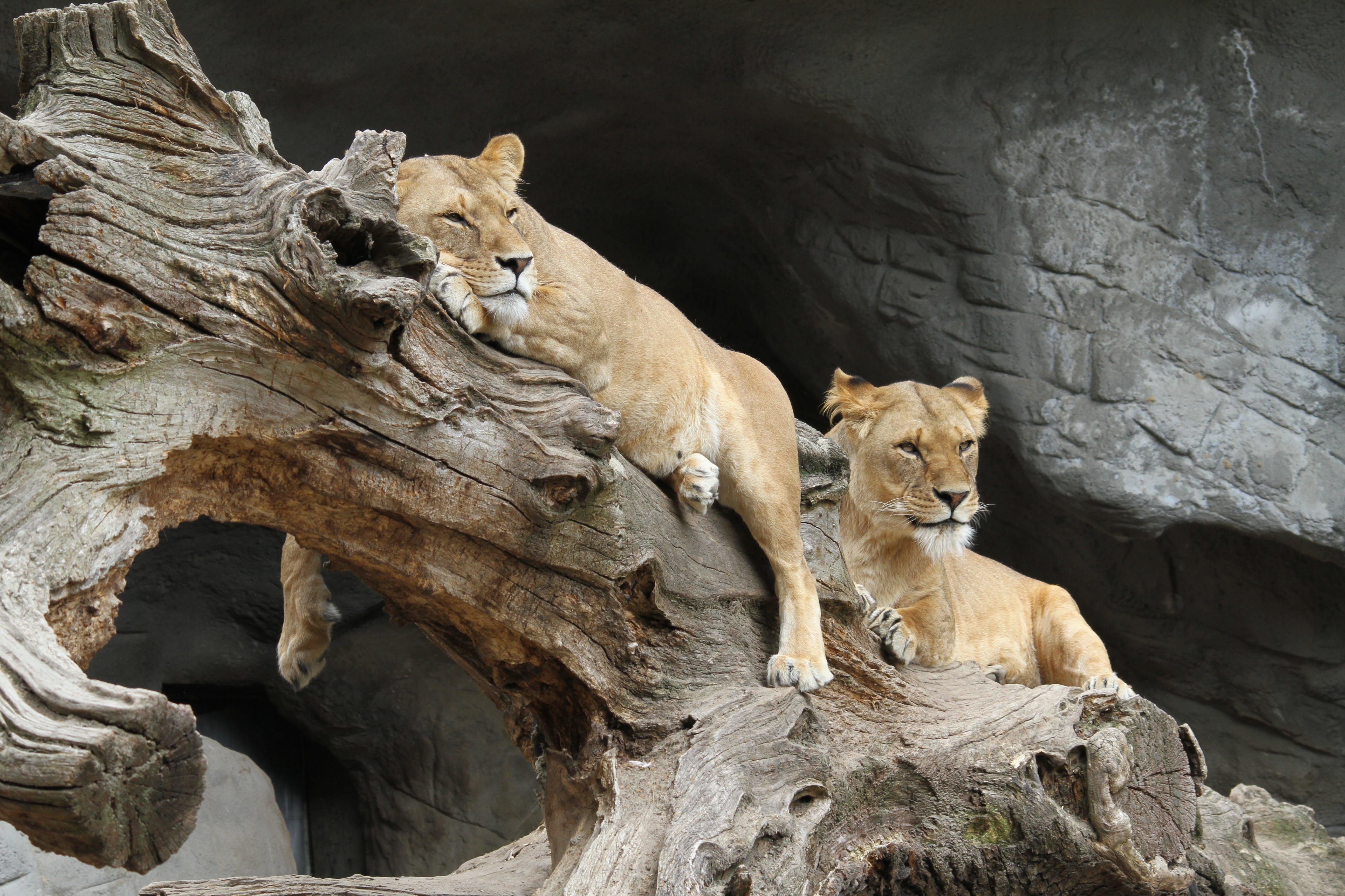 Free stock photo of africa, lion, predator, wildcat