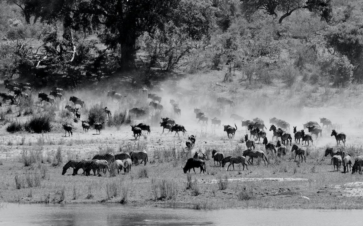Monochrome Photo of Zebras on Grassland