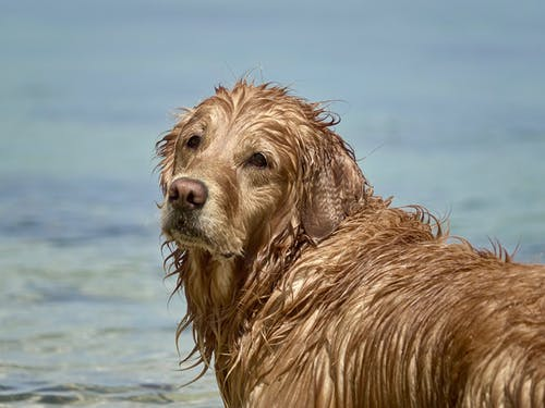 Immagine gratuita di bagnato, bagnato golden retriever, cane, golden retriever