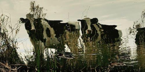 Imagine de stoc gratuită din apă, reflexie, vaci
