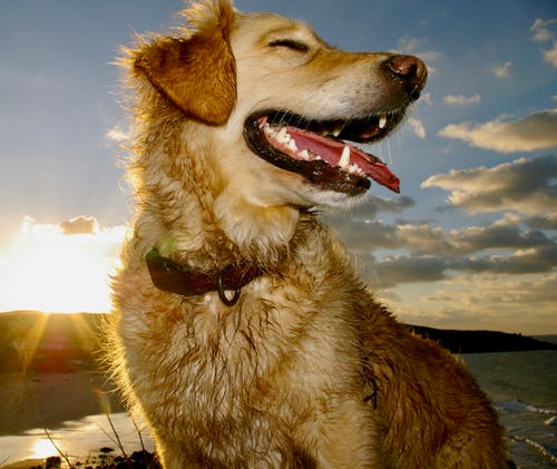 Immagine gratuita di cane che ride, golden retriever