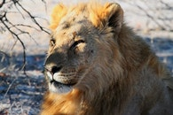 africa, lion, safari