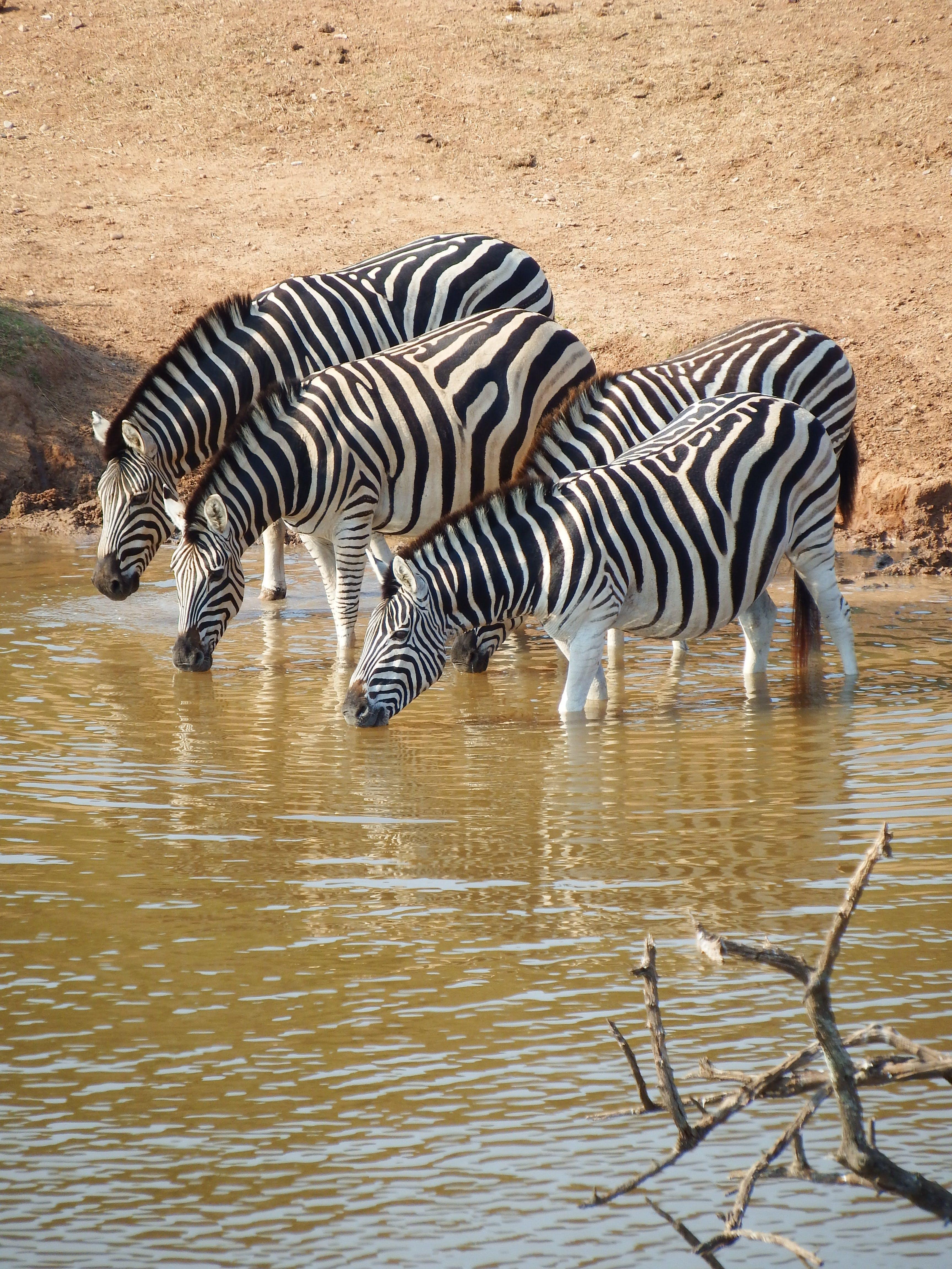 Herd of Zebra on Body of Water