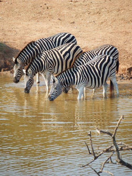 Herd of Zebra on Body of Water