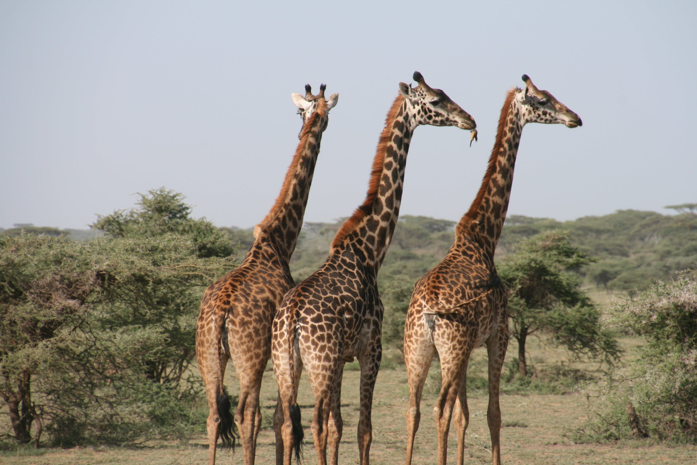 Three Giraffes on Land
