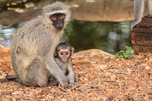 Free stock photo of nature, love, animals, monkey