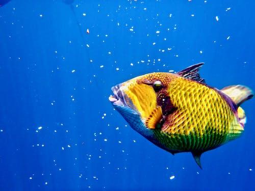 Imagine de stoc gratuită din papagal, parrot fish, pește, phuket