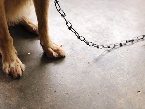 Foto d'estoc gratuïta de animal, animal domèstic, cadena, corretja