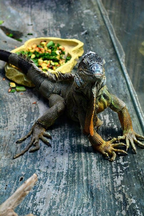 Gratis arkivbilde med grønn, iguana, øgle, skjell