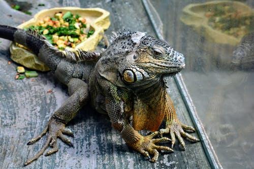 イグアナ, エキゾチック, スパイク, トカゲの無料の写真素材