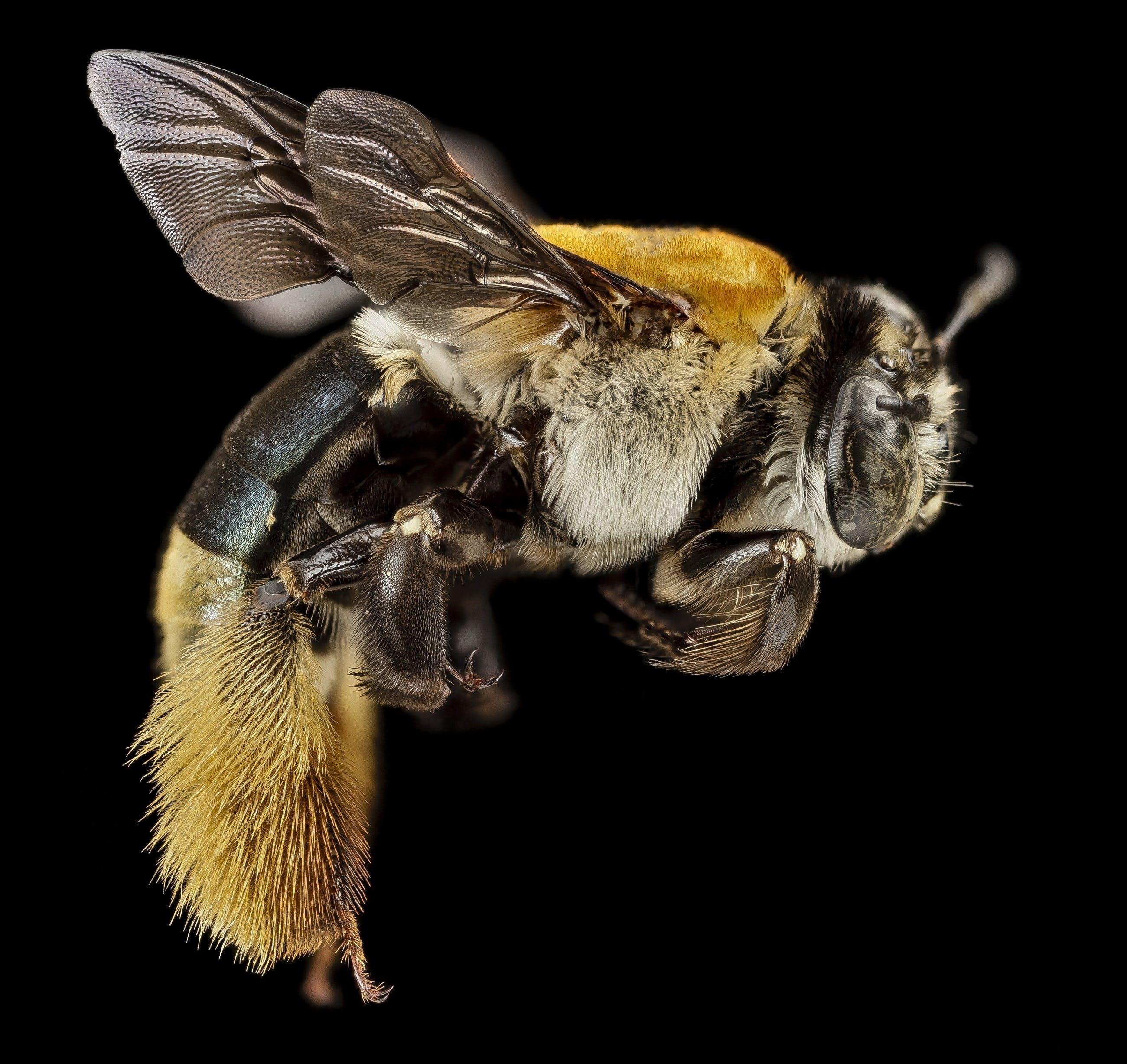 Macro Photography of Yellow and Black Honey Bee