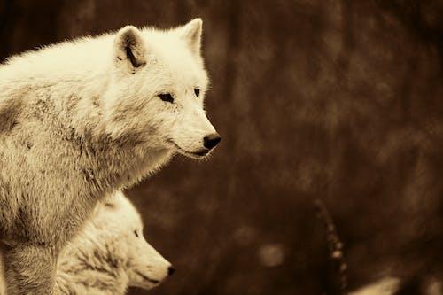 Fotobanka sbezplatnými fotkami na tému divočina, divý, portrét zvieraťa, srsť