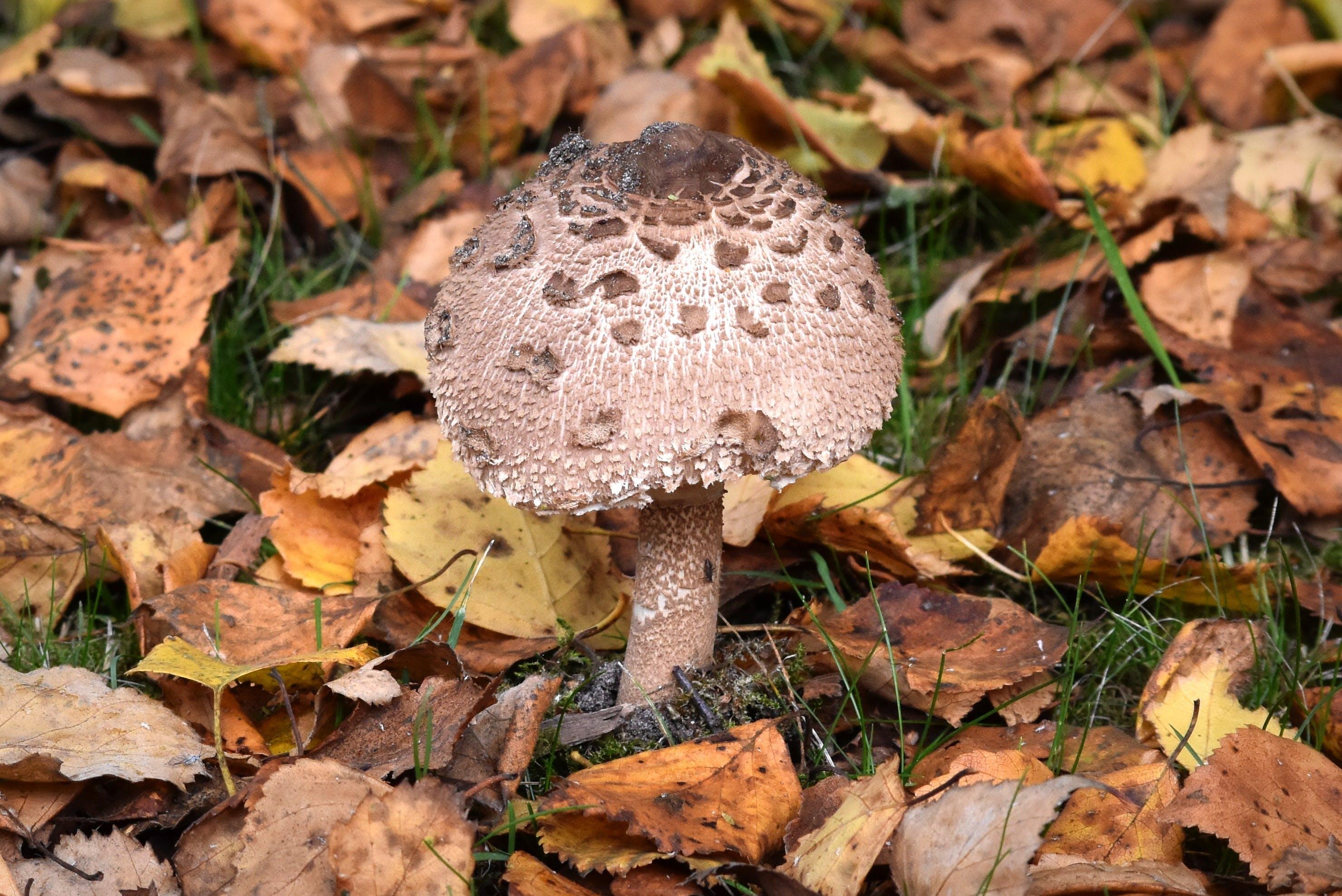 Free stock photo of agaric, autumn, mushroom, mushrooms