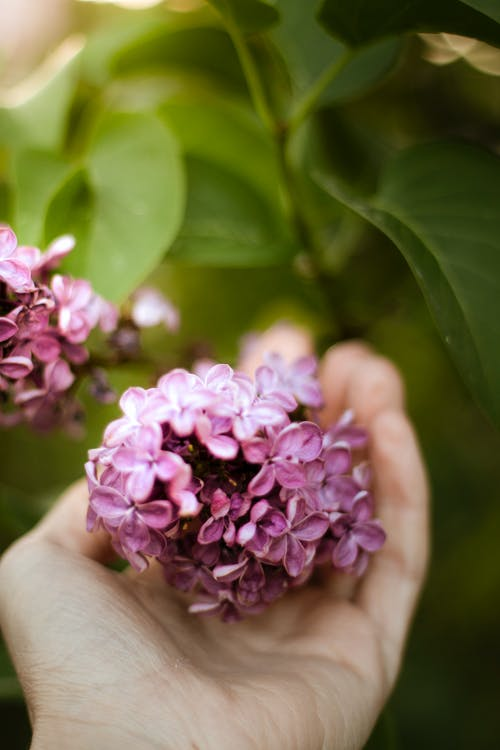 Close-Up Photo of Person Holding Pink Flowers