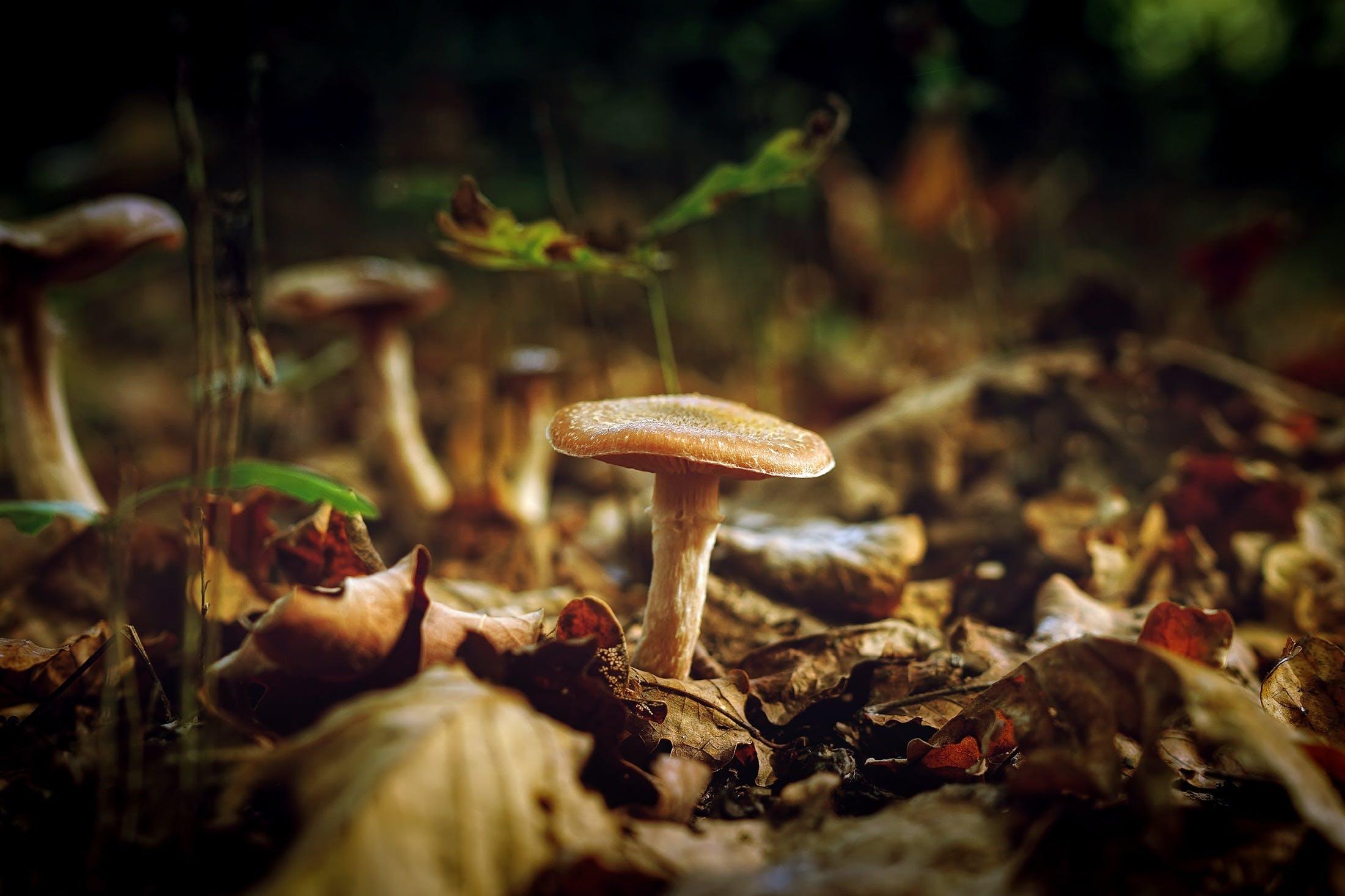 Kostenloses Stock Foto zu gefallene blätter, giftpilze, makro, pilze