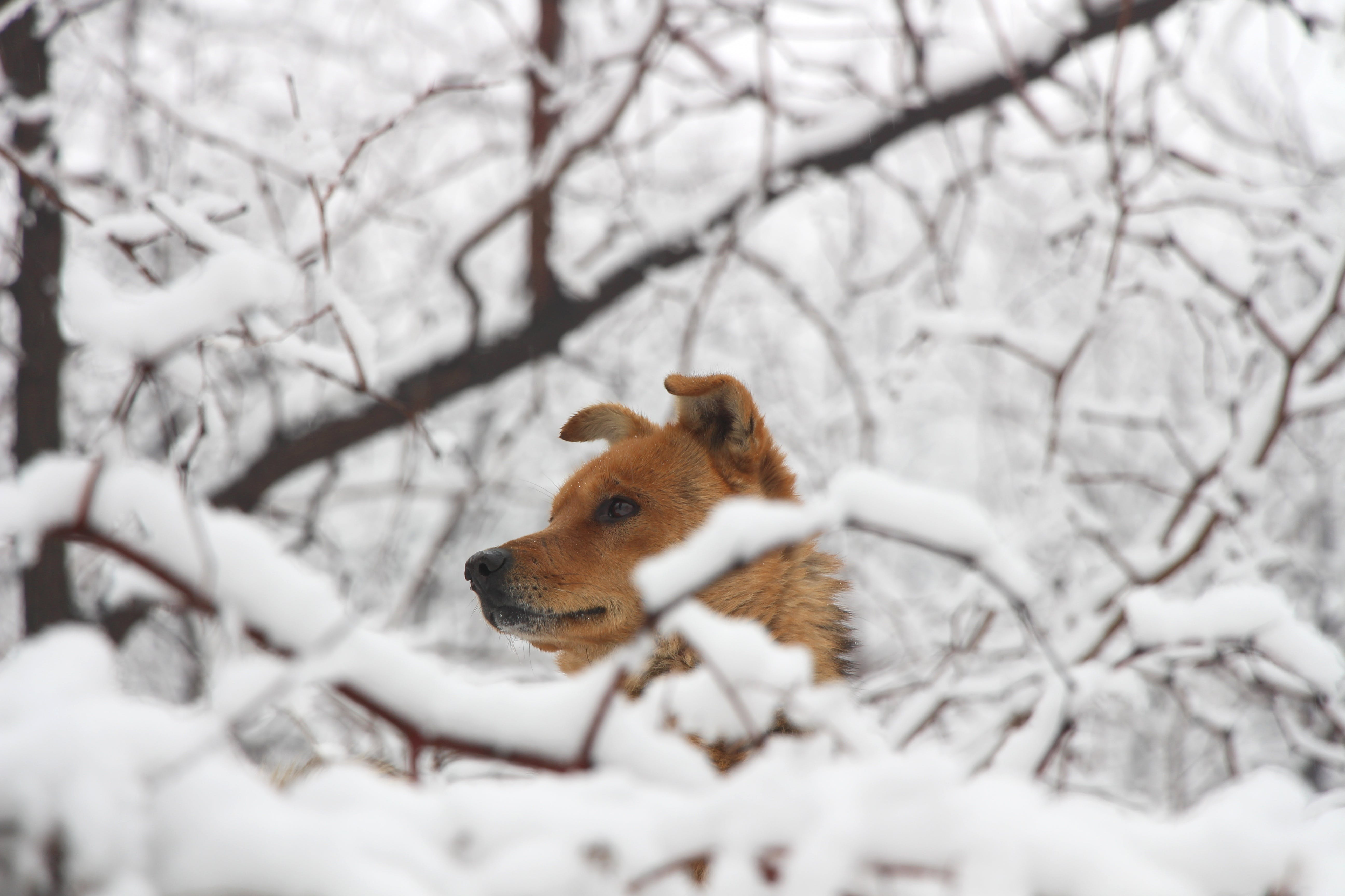 Short-coated Brown Dog Surrounded by Snow